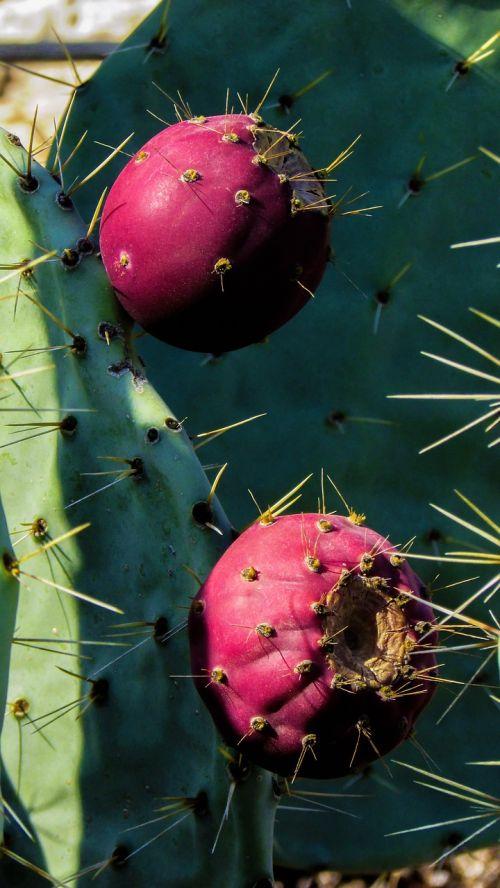 kaktusas,augalas,vaisiai,gamta,aštrus,erškėčių,žalias,kaktusas parkas,ayia napa,Kipras