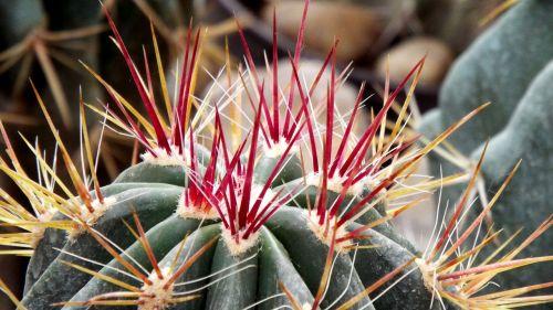 kaktusas,spiglys,aštrus,spiked