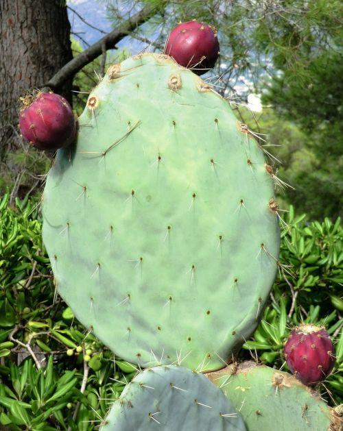 kaktusas,dygliuotas,žalias,gamta,erškėčių,dygliuotas kriaušes,į pietus nuo Prancūzijos