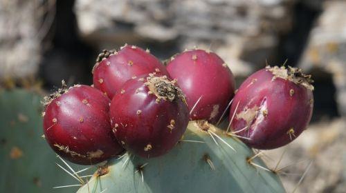 kaktusas,vaisiai,vaisiai,augalas,dygliuotas kriaušes,kaktusas šiltnamius,raudona,kaktusiniai vaisiai,kaktusas figas,dygliuotas,valgomieji,opuntia,kaktusiniai figos,į pietus,laukinės figos