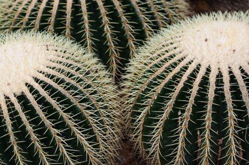kaktusas,kaktusai,echinocactus grusonii,globojamos,dygliuotas,aukso kaktusas kaktusas,motina kėdė,rip,veislės speneliai,augalas,flora,žalias,Meksika