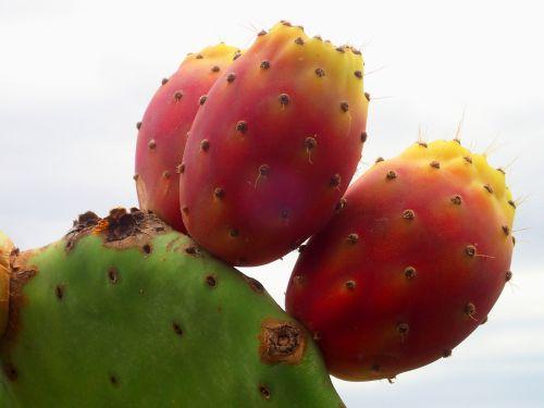 kaktusas,farbenspiel,dygliuotas,trio,mediteran