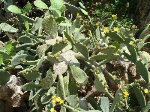 kaktusas,žiedas,žydėti,paskatinti,augalas,kaktusas šiltnamius,dygliuotas