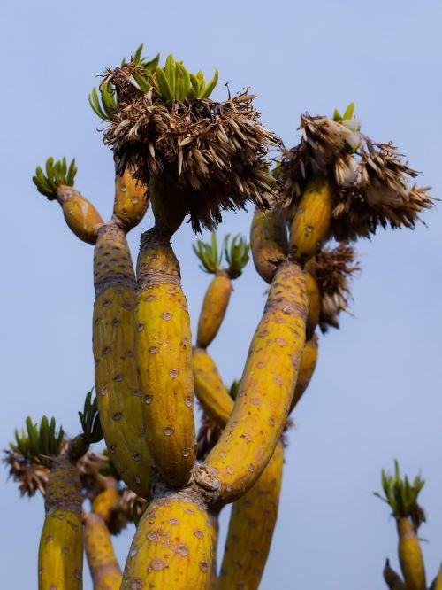 kaktusas,augalas,gamta,egzotiškas,kaktusas parkas,ayia napa,Kipras