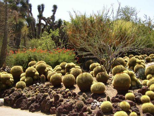 kaktusas,botanikos,egzotiškas