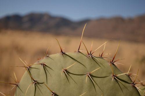 kaktusas,Arizona,dykuma