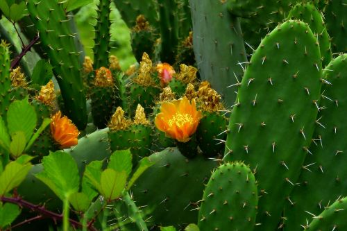 kaktusas,augalas,dygliuotas,gamta,flora,orang,kaktusas šiltnamius,Ispanija,erškėčių,kaktusas sodas,žiedas,žydėti