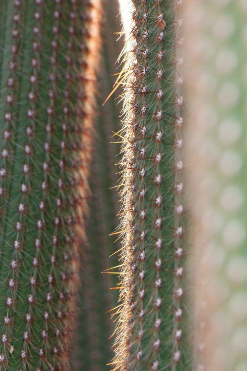 kaktusas,kaktusai,dygliuotas,rip,veislės speneliai,augalas,flora,žalias,Meksika