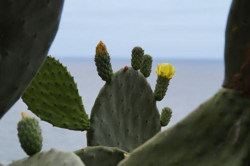 kaktusas,kaktusas žiedas,žiedas,žydėti,geltona,žydėti,kaktusinė gėlė,kaktusas šiltnamius,žalias,dygliuotas,augalas,jūra,Viduržemio jūros
