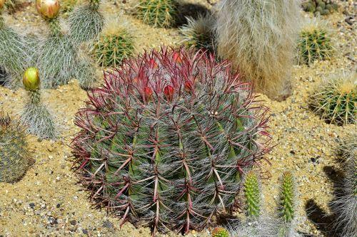kaktusas,rutulinis kaktusas,gėlės,kaktusiniai gėlės,žydėti,Uždaryti,erškėčių,paskatinti,žalias,kaktusas šiltnamius,globojamos,dygliuotas,augalas,smailas