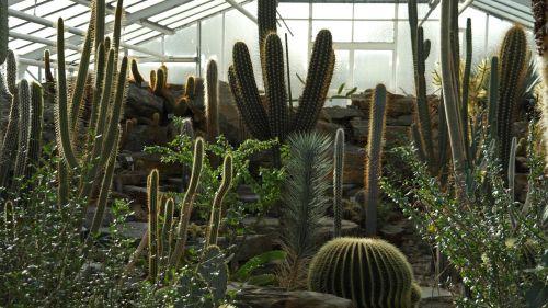 kaktusas,globojamos,dygliuotas,augalas,kaktusai,šiltnamyje