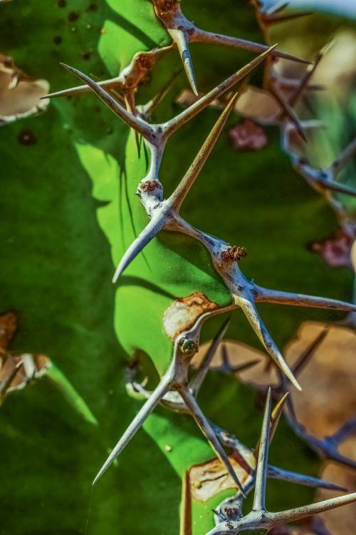 kaktusas,erškėčių,augalas,gamta,vasara,aštrus,aštrus