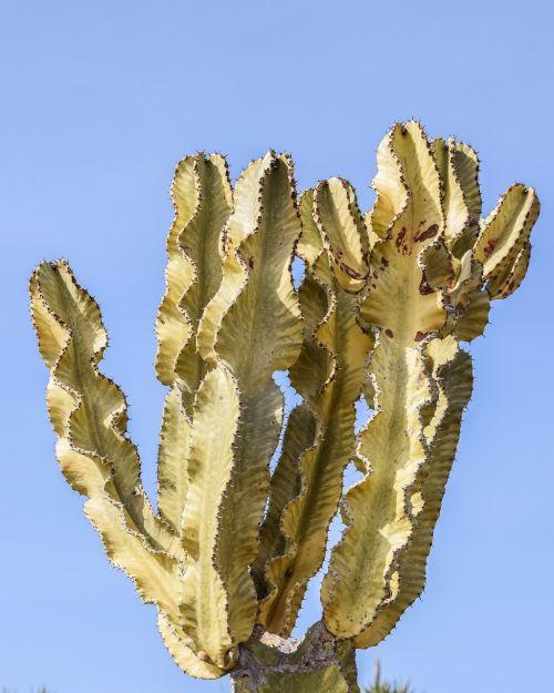 kaktusas,erškėčių,augalas,gamta,aštrus,aštrus,vasara,flora
