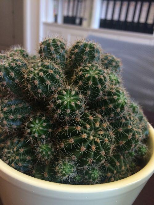 kaktusas,tvirtumas,žalia kaktusas