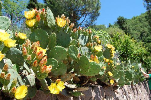 kaktusas,dygliuotas kriaušes,kaktusas šiltnamius,dygliuotas,paskatinti,augalas,Viduržemio jūros,žiedas,žydėti,gamta,vasara,kaktusas žiedas,kaktusinė gėlė,geltona,žalias,gėlė,flora,šerti,žydėti
