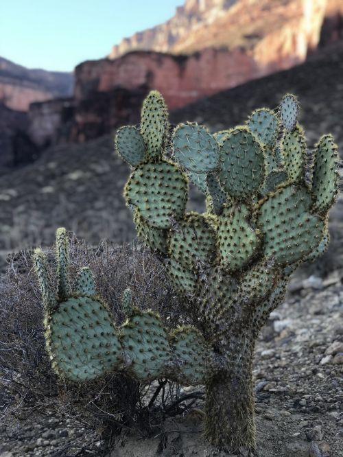 kaktusas,dykuma,gamta,sausas,sultingas,Didysis kanjonas,Arizona