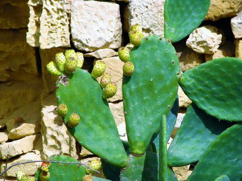 kaktusas,augalas,aštrus,spiglys,gamta,sultingas,aštrus,žalias,vaisiai,malta