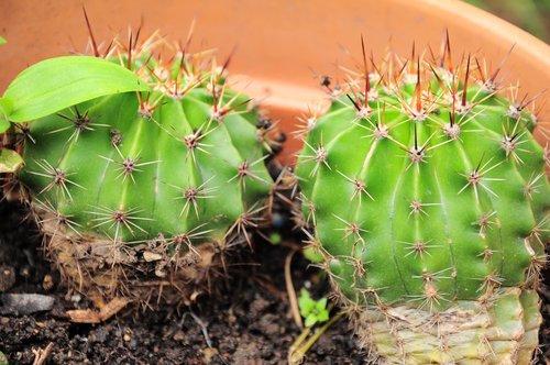 kaktusas, kaktusai, Oficiali kaktusas, Gelės vazonas, DEA, žalias, gėlių nuotraukos, gėlė, išsamiai kadrų, augalų, Uždaryti, kaktusas namuose, Kaktusas veislių