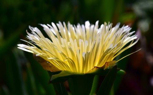kaktusas, kaktusas žiedas, Iš arti, žydi, augalų, pobūdį, gėlės, kaktusas gėlė, Viduržemio jūros, pavasaris, geltona, šviesos, šviesus, sausra, šiltas