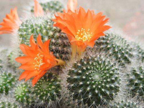 kaktusas, oranžinė gėlė, Grožio, augalų, gėlės, šuoliai, Kambariniai augalai, kaktusas gėlė, pobūdį, makro, egzotiškas, žydėjimo kaktusas, žydi