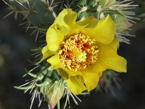 kaktusas, gėlė, dykuma, augalų, pobūdį, erškėčiai, į pietvakarius, Cholla