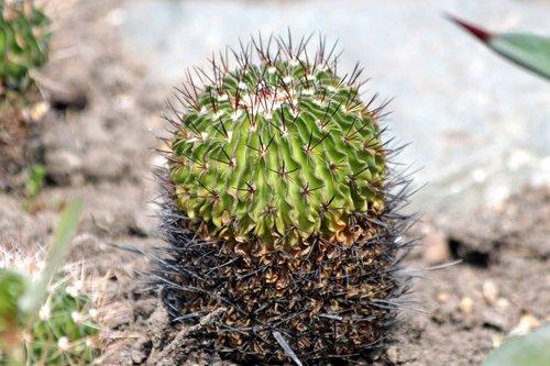 kaktusas, augalų, pobūdį, sukulentai, Sodas, adatos, žalias, augmenija