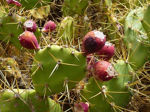 kaktusas, kaktusas vaisių, dygliuotas, kaktusas šiltnamio efektą sukeliančių, vaisių, dygliuotas kriaušių, augalų, Viduržemio jūros, pobūdį, vaisiai, žalias, paskatinti, Stingas, raudona, Cactaceae, valgomieji, kaktusas pav, vasara, Pietų, žiedas, žydėjimas