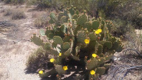 kaktusas,kaktusai,gėlė,dykuma,dykumos gėlė