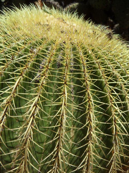 kaktusas,rutulinis kaktusas,globojamos,dygliuotas,paskatinti,kaktusas šiltnamius,žalias,Uždaryti,išsamiai,augalas