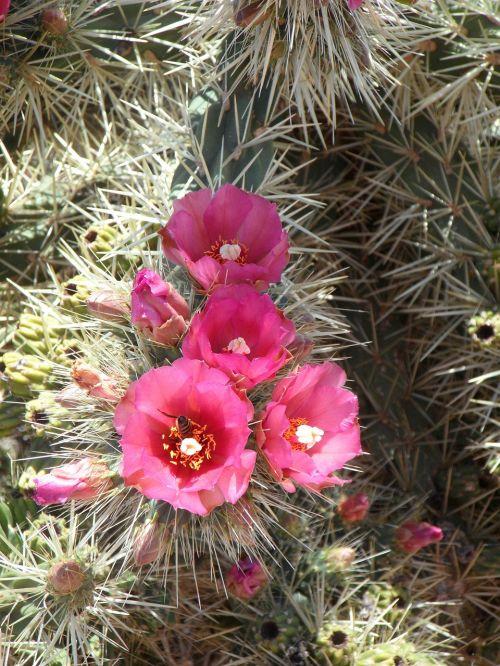 kaktusas,dygliuotas,paskatinti,augalas,flora,kaktusas šiltnamius,pažymėtas,sodrus,erškėčių,žydėti,žiedas,žydėti,rožinis