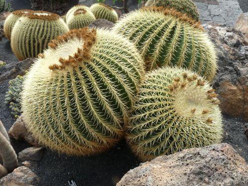 kaktusas,rutulys,paskatinti,rutulinis kaktusas