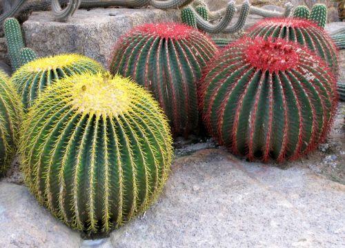 kaktusas,botanikos sodas nong nooch,Tailandas,tropiniai augalai,gamta,kelionė,atostogos,parko gamykla
