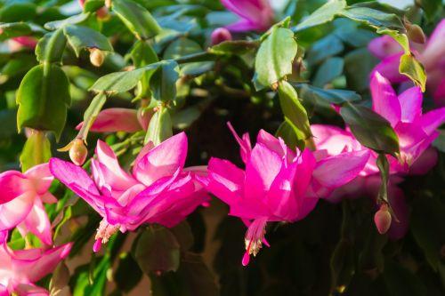 kaktusas,augalas,žydėti,gamta,šerti,erškėčių,farbenpracht,spalvinga,momentas,ornamentas,variklis,antspaudas,žiedadulkės,stebuklas