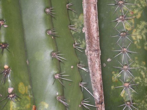 kaktusas,žalias,kaktusas traškučiai,sodas,dykuma,erškėtis,botanikos,augalas
