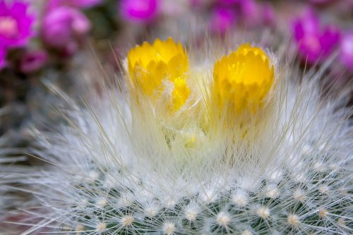kaktusas,dygliuotas,augalas,paskatinti,erškėčių,šerti,flora,Uždaryti,kaktusas šiltnamius,kaktusai,kaktusas žiedas,subtropinis,echinocactus grusonii,pieksig