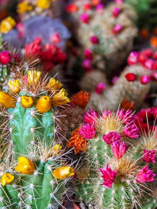 kaktusas,dygliuotas,gamta,paskatinti,žydėti,gėlės,šerti,augalas,kaktusas žiedas,Uždaryti,dykuma,kaktusinė gėlė,gražus,flora