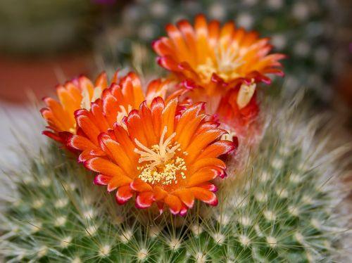 kaktusas,žiedas,žydėti,oranžinė,augalas,Arizona,paskatinti,Uždaryti,dygliuotas,gamta,kaktusiniai gėlės,kaktusinė gėlė,kaktusas žiedas