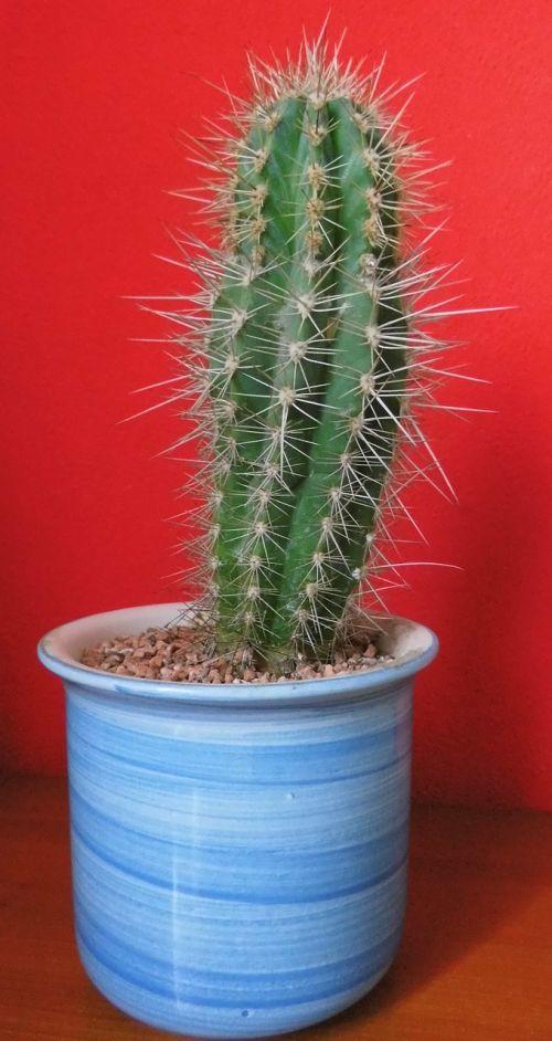 kaktusas, paskatinti, siena, raudona, puodą, erškėčių, augalas, dygliuotas, žalias, kaktusas šiltnamius, gamta
