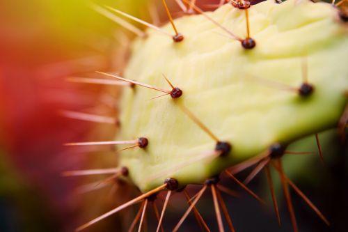 kaktusas, paskatinti, gamta, augalas, erškėčių, dygliuotas, žalias, kaktusas stiebas, kaktusas šiltnamius, Uždaryti, makro nuotrauka