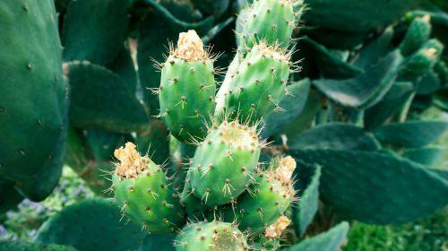 kaktusas,augalas,dygliuotas,šeriai,žalias,gamta,erškėčių