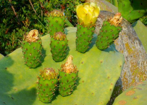 kaktusas,žiedas,žydėti,augalas,kaktusiniai gėlės,geltona,šviesus,kaktusinė gėlė,paskatinti,erškėčių,dygliuotas kriaušes,žydėti lapų kaktusas,lapų kaktusas,kaktusas šiltnamius