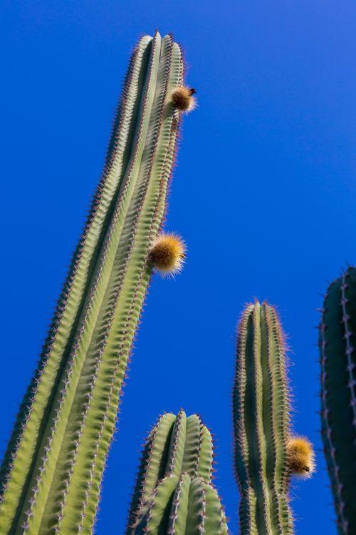 mėlynas & nbsp, dangus, kaktusai, kaktusas, dykuma, žalias, lauke, augalas, dygliuotas, aukštas, erškėtis, augmenija, kaktusas ir dangus
