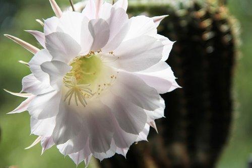kaktusas žiedas, kaktusas, žiedas, žydi, žydi, augalų, Iš arti, paskatinti, gėlė, dygliuotas, pobūdį, kaktusas šiltnamio efektą sukeliančių, floros, žalias, baltos spalvos, švelnus, įsižiebs