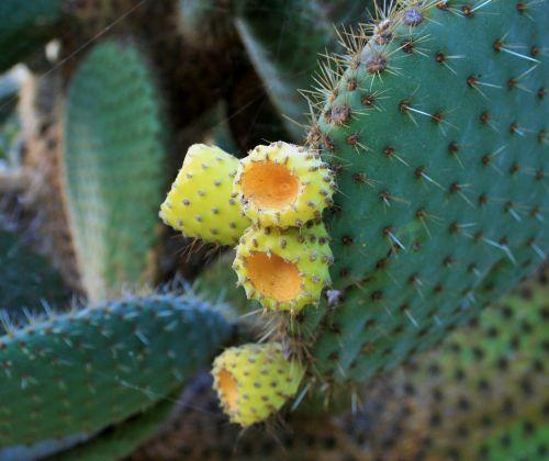 kaktusas krūmas,krūmas,kaktusas,sultingas,lapai,storas,mėsingas,vaisiai,geltona,dygliuotas,erškėčių