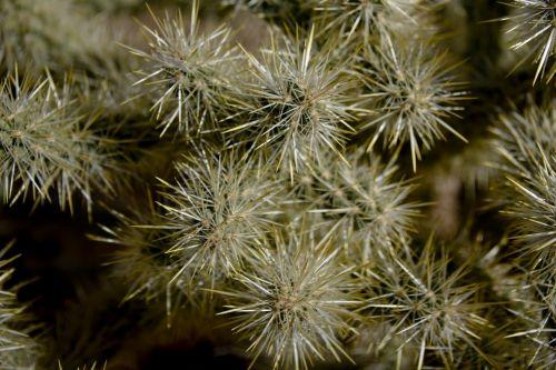 kaktusas, adatos, Teddy & nbsp, Bear, mažas, auksinis, žalias, geltona, taškas, kaktusas arti
