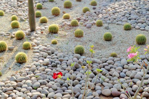 kaktusas, pasėlių, akmenukai, akmuo, sodas, gamta, kaktusas pasėliai