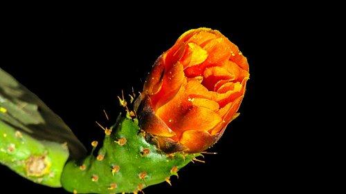 kaktusas gėlė, keblus, kaktusas, augalų, gėlė, erškėčiai, dykuma, kaktusai, žydėjimo, sultingi, oranžinė, pobūdį, Parc sama, Ispanija