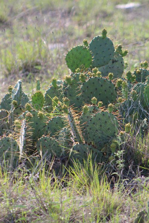 kaktusas, kaktusas & nbsp, augalas, gamta, pavasaris, kaktuso pleistras