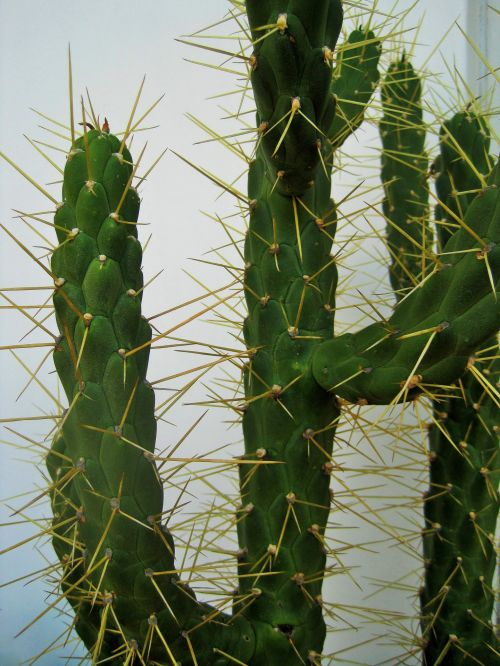 kaktusas, ilgai, žalias, erškėčių, aštrus, kaktusas su erškėčiais