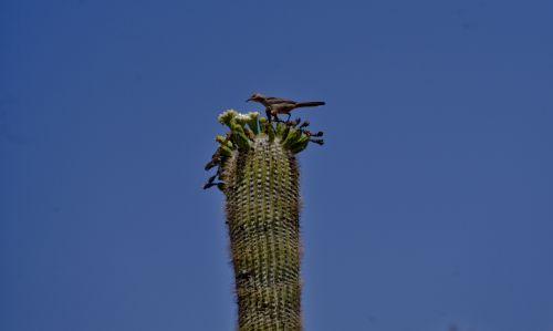 paukštis, kaktusas, Wren, kaktusas & nbsp, raktas, Saguaro, paukštis & nbsp, kaktusas, Arizona, Saguaro & nbsp, kaktusas, mėlynas & nbsp, dangus, dykuma, laukinė gamta, kaktusas raktas